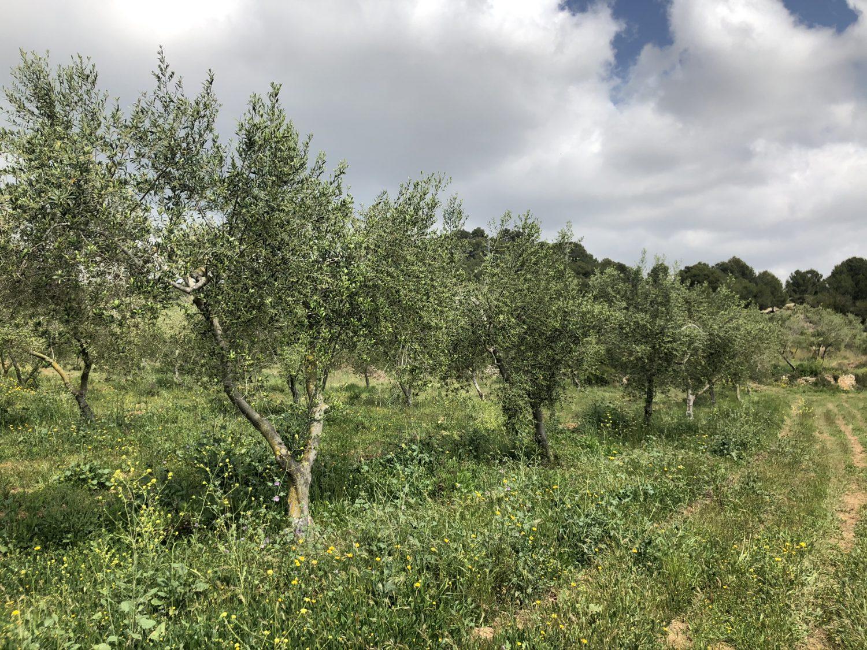 capa herbacia