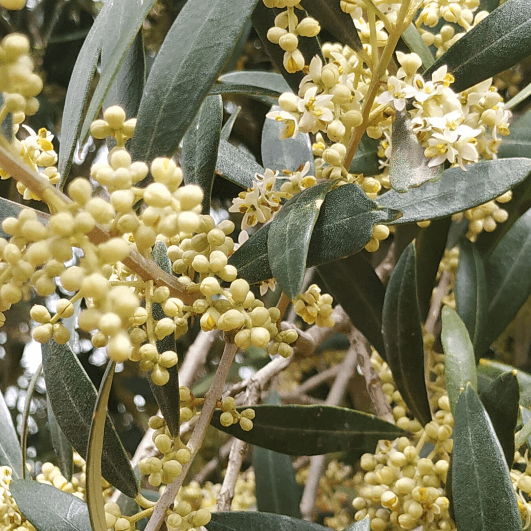 floració olivera