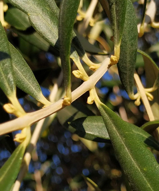 Floracio oliveres