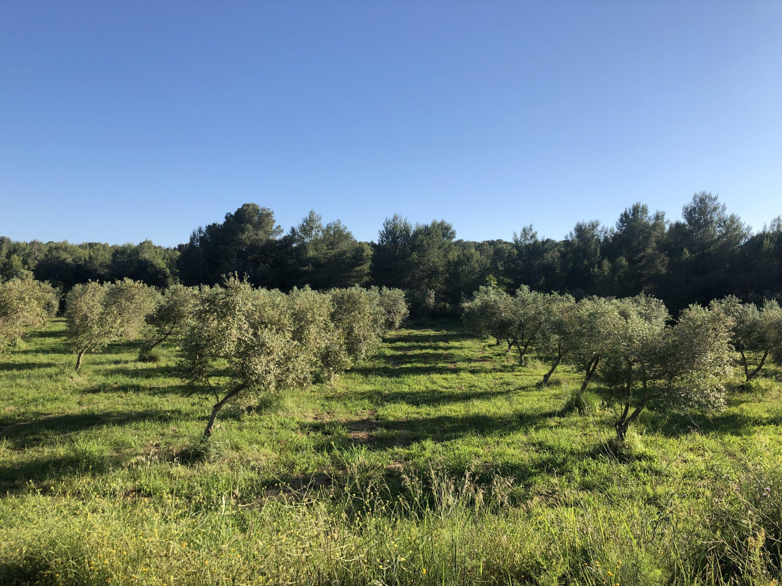 tipus oli oliva