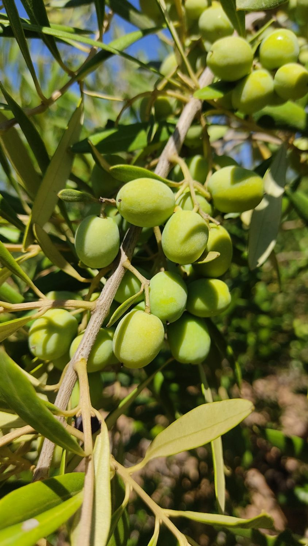 TOR 3 varietats - arbosana